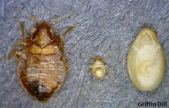 Maine Extension bedbug