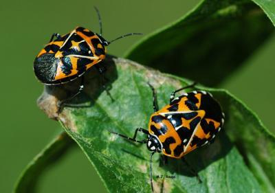Maryland bugs