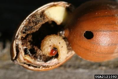 Acornweevillarva.bugwood