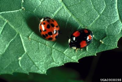 Asian lady beetles-Louis Tedders