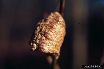 Mantis egg case-Jim Occi