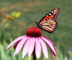 Monarch on purple cone flower