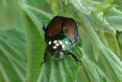 Tacnid beetle