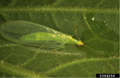 Lacewing adult