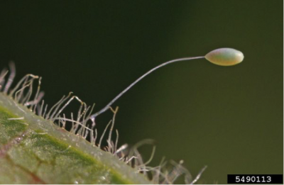 Lacewing egg on a stalk