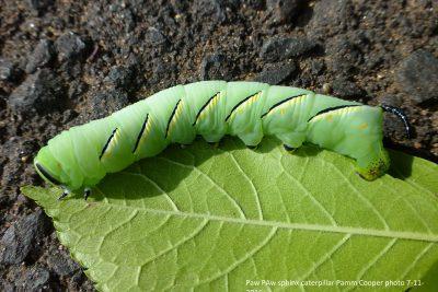 Paw Paw Sphinx Caterpillar