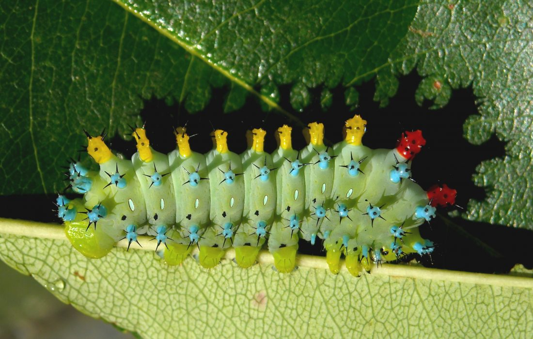 Cecropia moth caterpillar