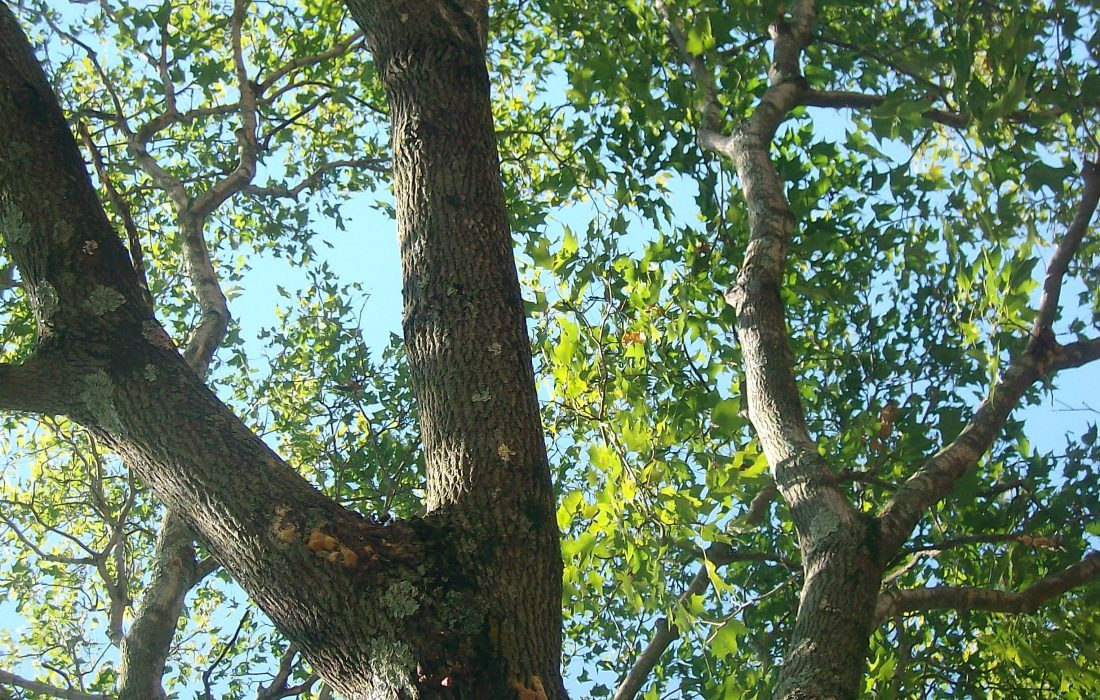 tree with gypsy moths