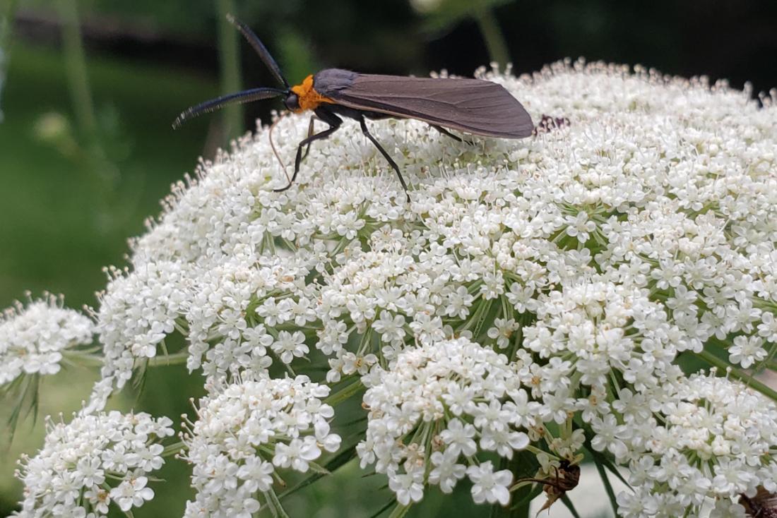 bug on white flowers