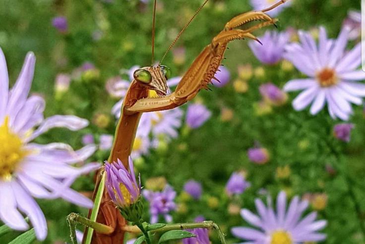 praying mantis on purple asters
