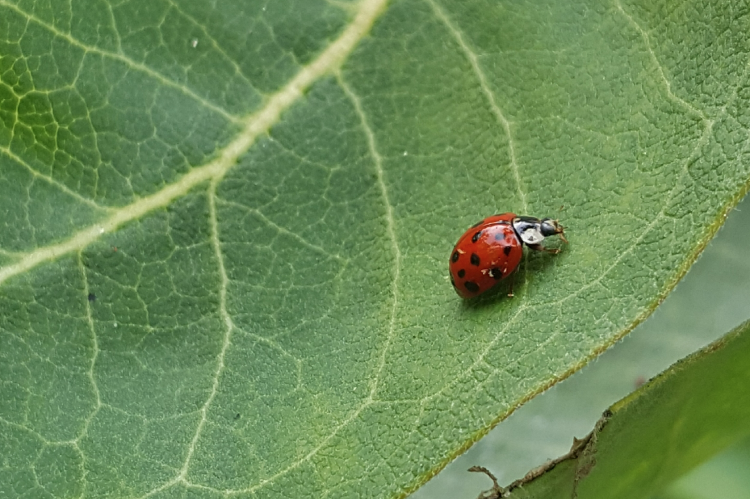ladybug crawling on green leaf
