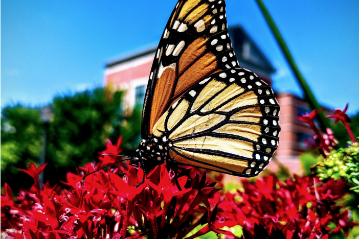 monarch butterfly on red flowers
