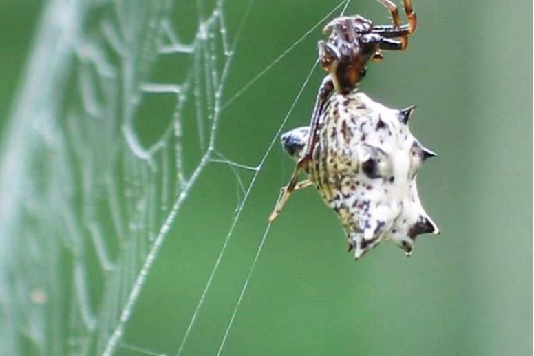 spider hanging upside down on spider web