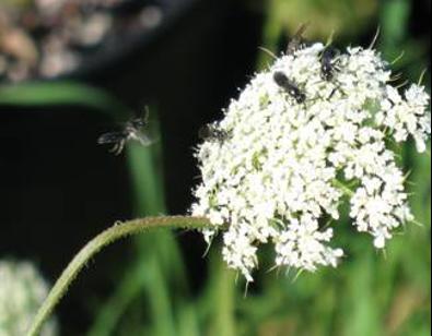 Summer Tiphia wasps feeding on wild carrot