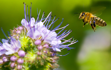 honey bee and a purple flower
