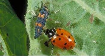 ladybug larva and adult ladybug on a leaf