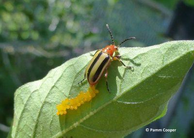 3-lined potato beetle laying eggs