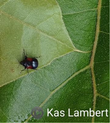 leafrolling weevil