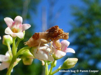 ambush bug on spreading dogbane