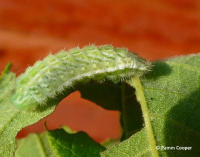 banded hairstreak caterpillar