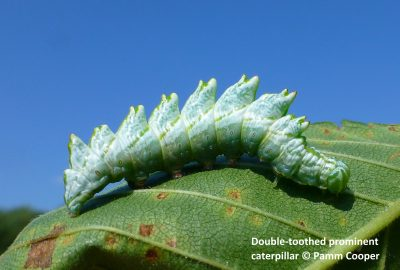 Double-Toothed Prominent Caterpillar