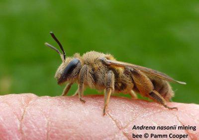 Andrena Mining Bee