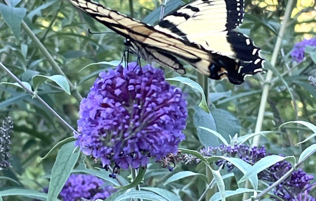 Yellow swallowtail butterfly on butterfly bush.