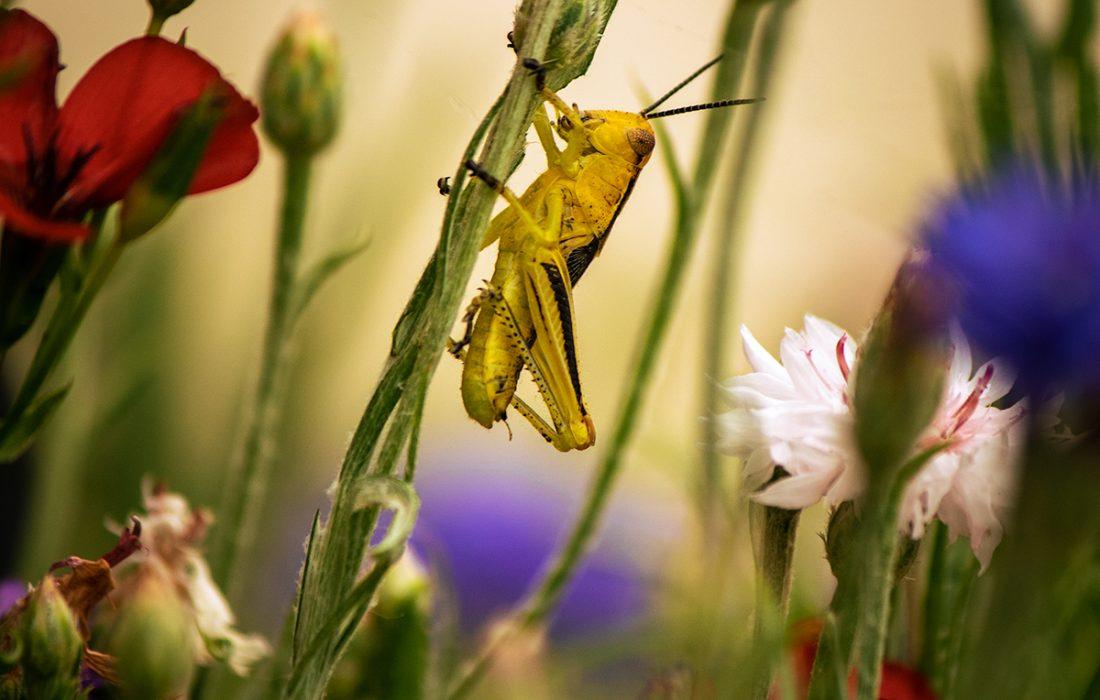 grasshopper on a plant stem