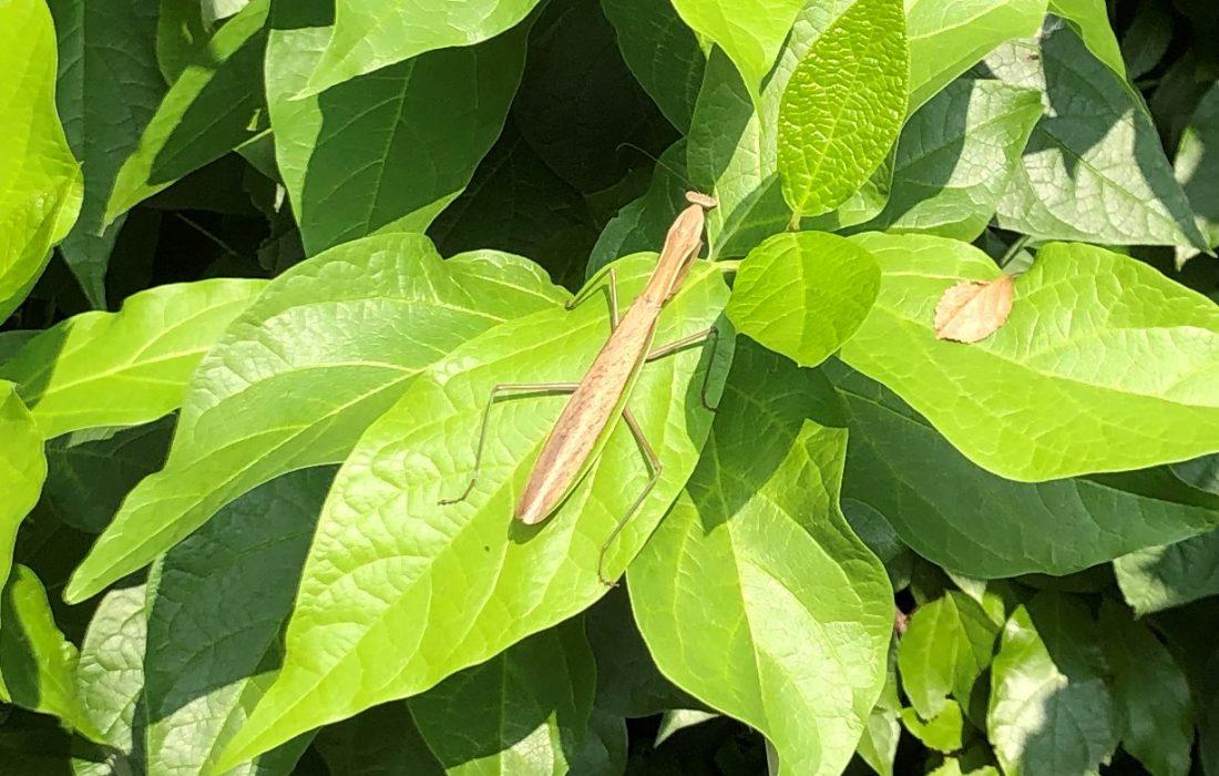 Praying mantis on large sweet bush leaf.