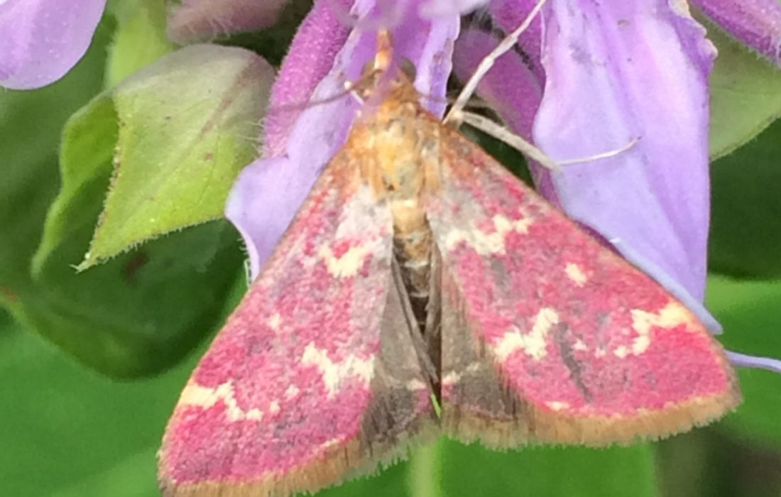 Raspberry Pyrausta Moth (Pyrausta signatalis) on Monarda Fistulosa (Bee Balm)