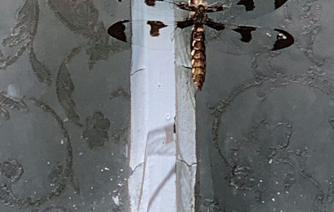 Dragonfly on barn window.